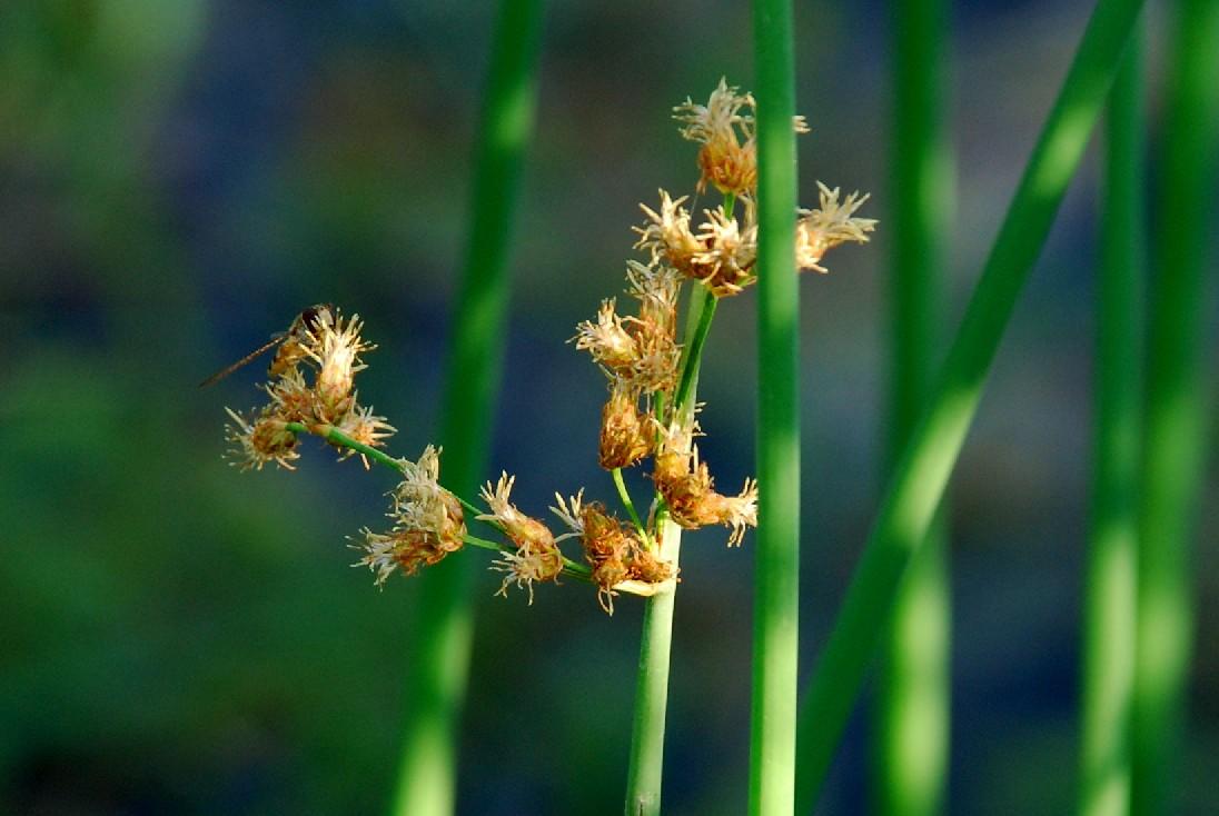 Schoenoplectus lacustris subsp. lacustris