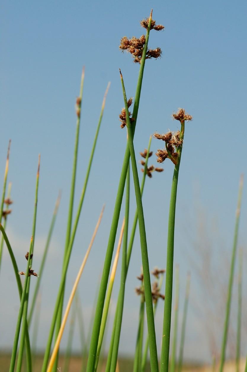 Schoenoplectus lacustris subsp. lacustris 17