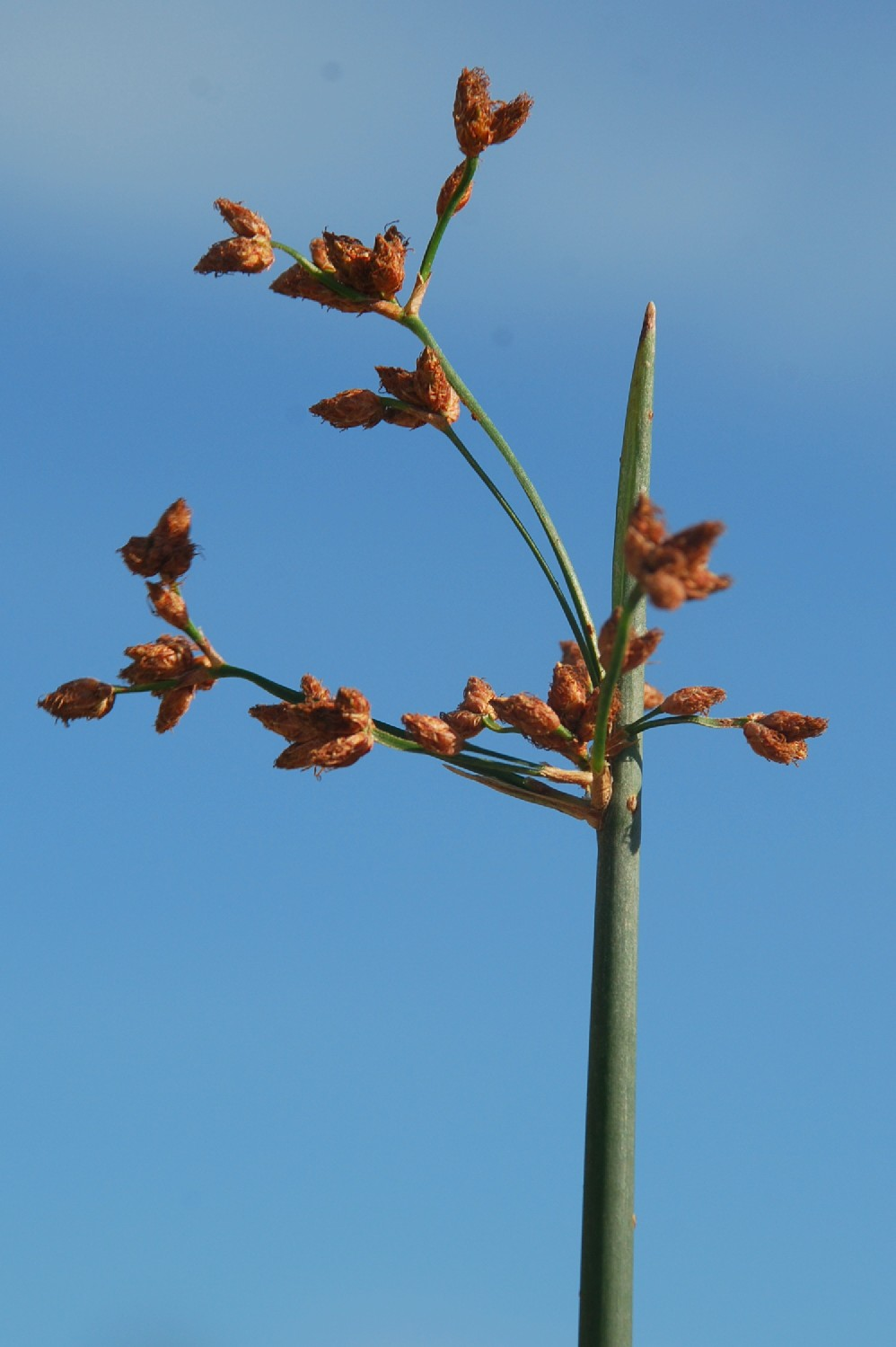 Schoenoplectus lacustris subsp. lacustris 35