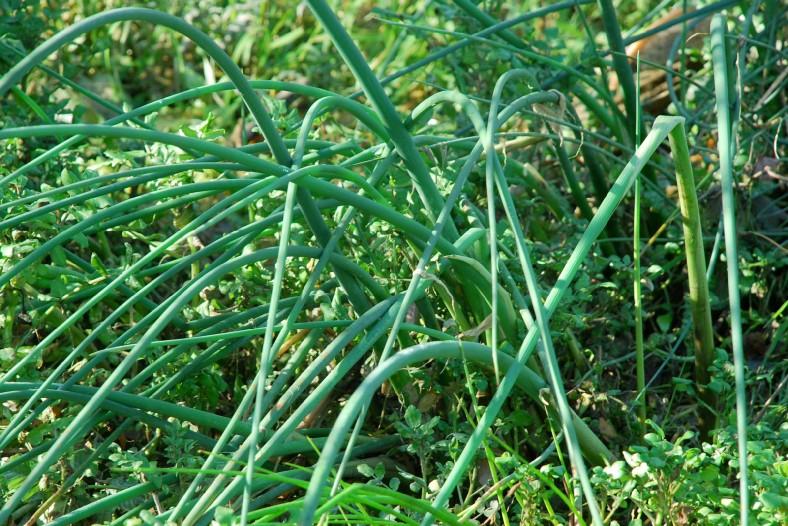 Schoenoplectus lacustris subsp. lacustris 38