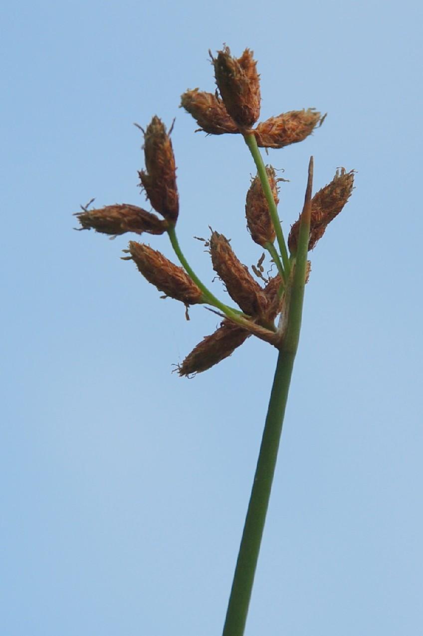 Schoenoplectus lacustris subsp. lacustris 6