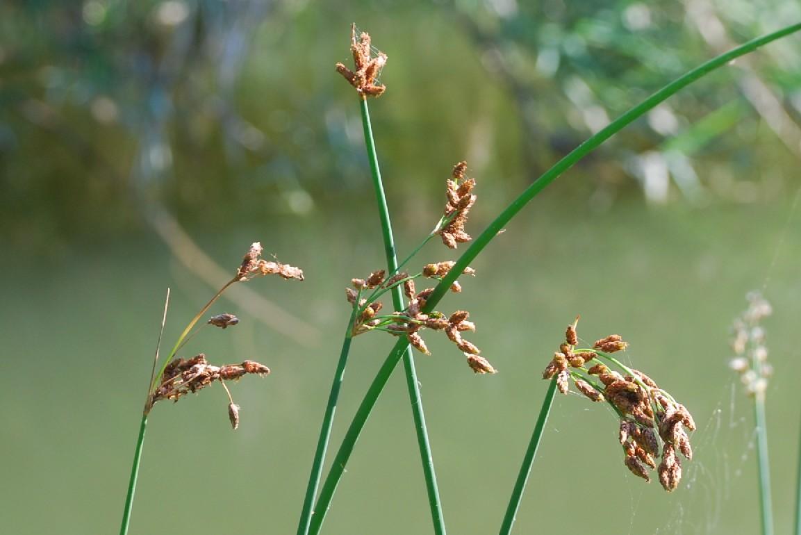 Schoenoplectus lacustris subsp. lacustris 9
