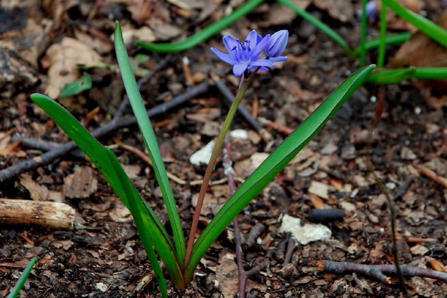 Scilla bifolia 11