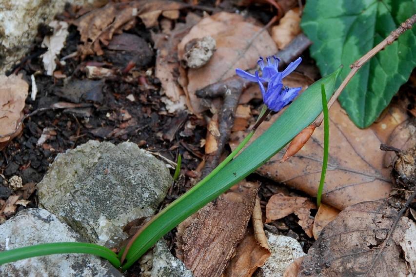 Scilla bifolia 12