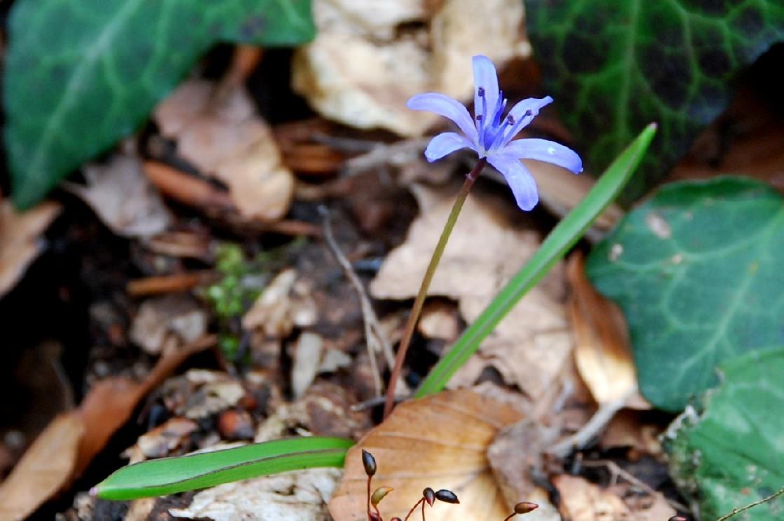 Scilla bifolia 9