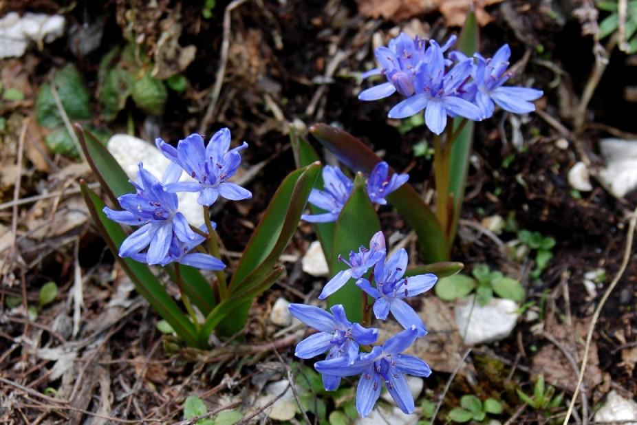 Scilla bifolia subsp. bifolia 5