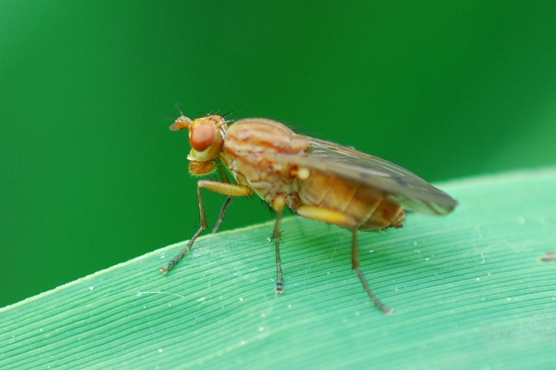 Sciomyzidae