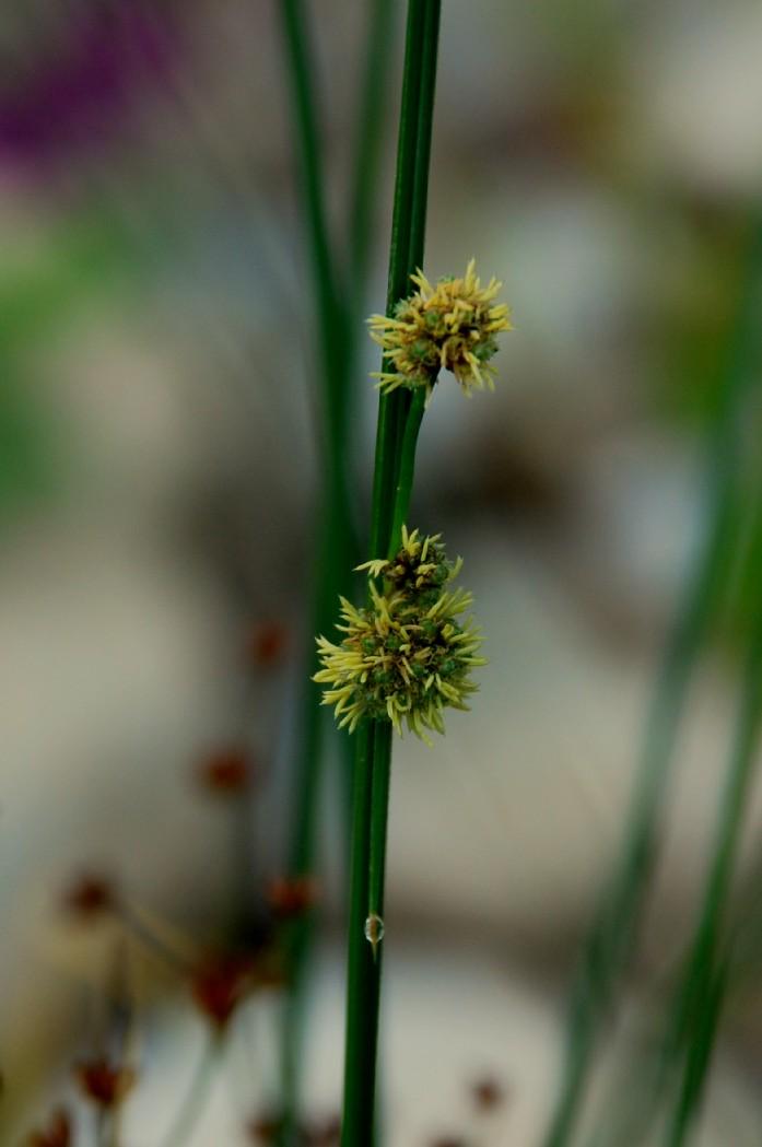 Scirpoides holoschoenus subsp. holoschoenus
