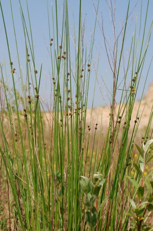Scirpoides holoschoenus subsp. holoschoenus 15