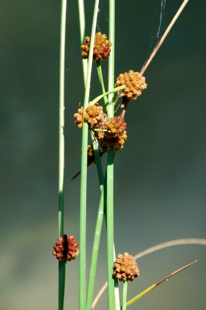 Scirpoides holoschoenus subsp. holoschoenus 17