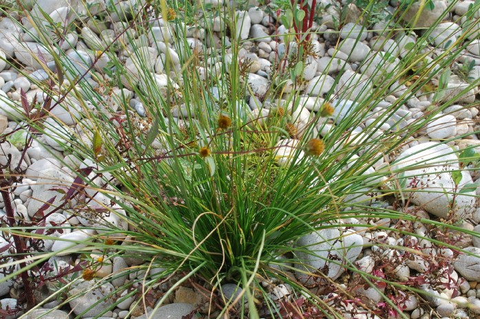 Scirpoides holoschoenus subsp. holoschoenus 23