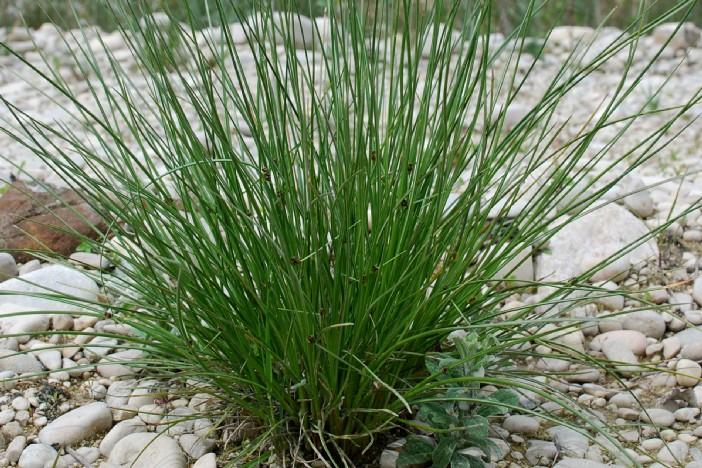 Scirpoides holoschoenus subsp. holoschoenus 4