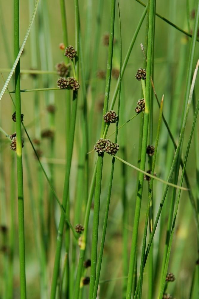 Scirpoides holoschoenus subsp. holoschoenus 6