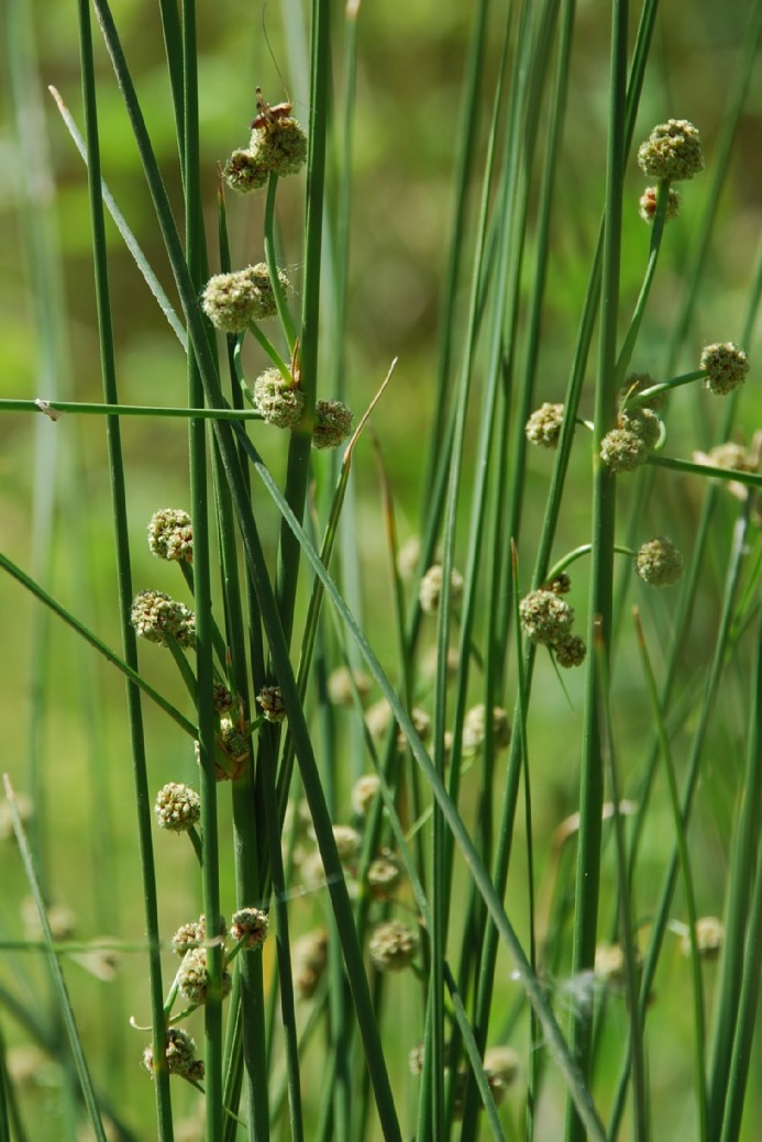 Scirpoides holoschoenus subsp. holoschoenus 7