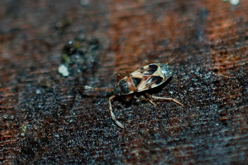 Scolopostethus pictus - Lygaeidae