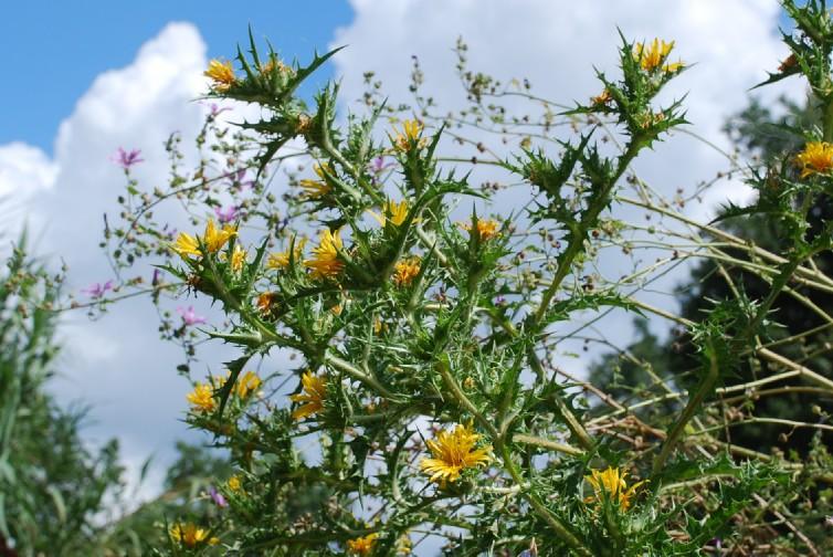 Scolymus hispanicus 12