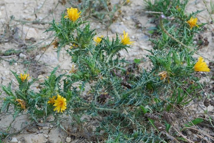Scolymus hispanicus 14
