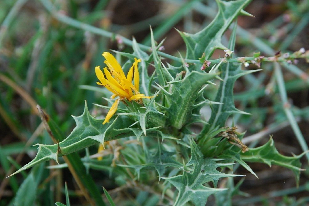 Scolymus hispanicus 15