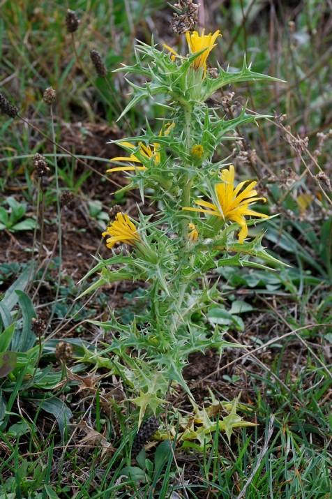 Scolymus hispanicus 18