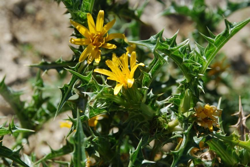 Scolymus hispanicus 2