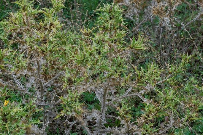 Scolymus hispanicus 21