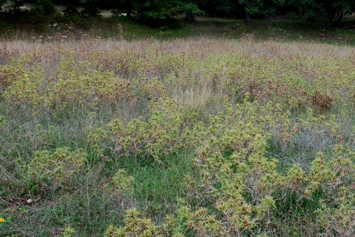 Scolymus hispanicus 23