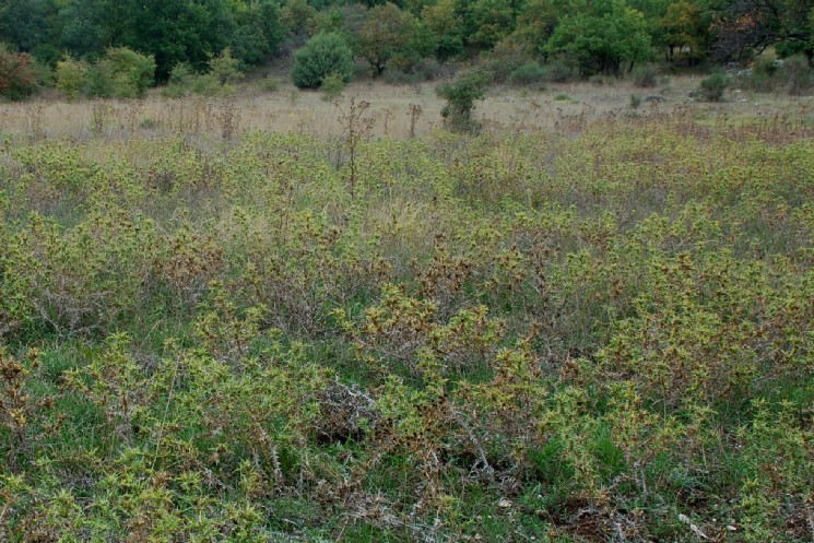 Scolymus hispanicus 24