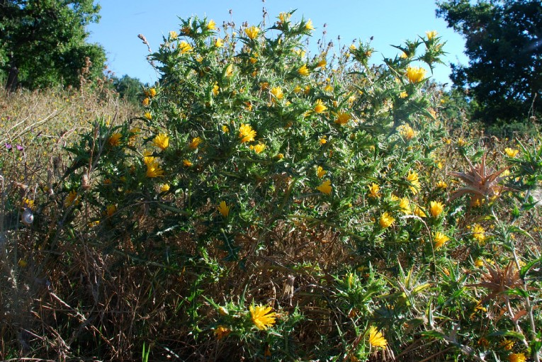 Scolymus hispanicus 27