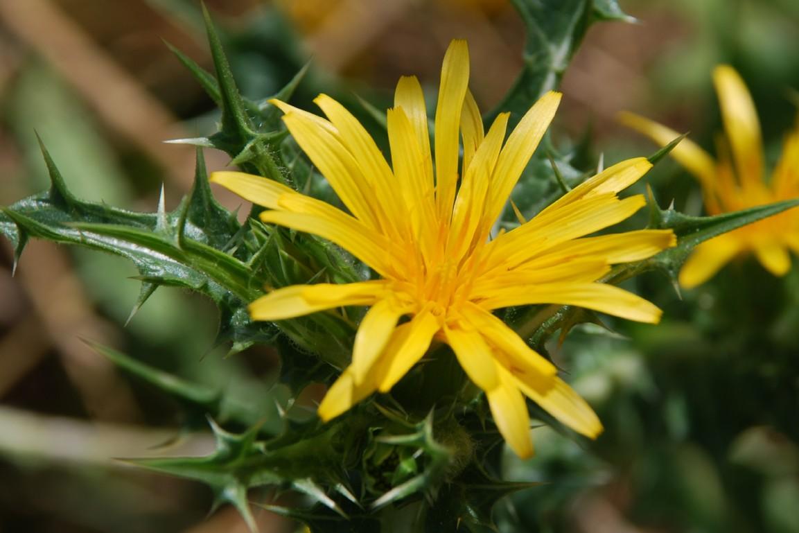 Scolymus hispanicus 5