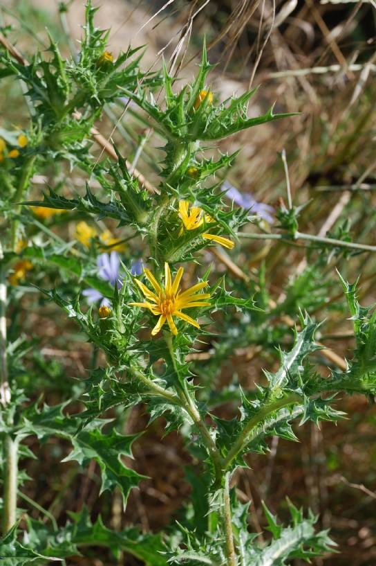 Scolymus hispanicus 7