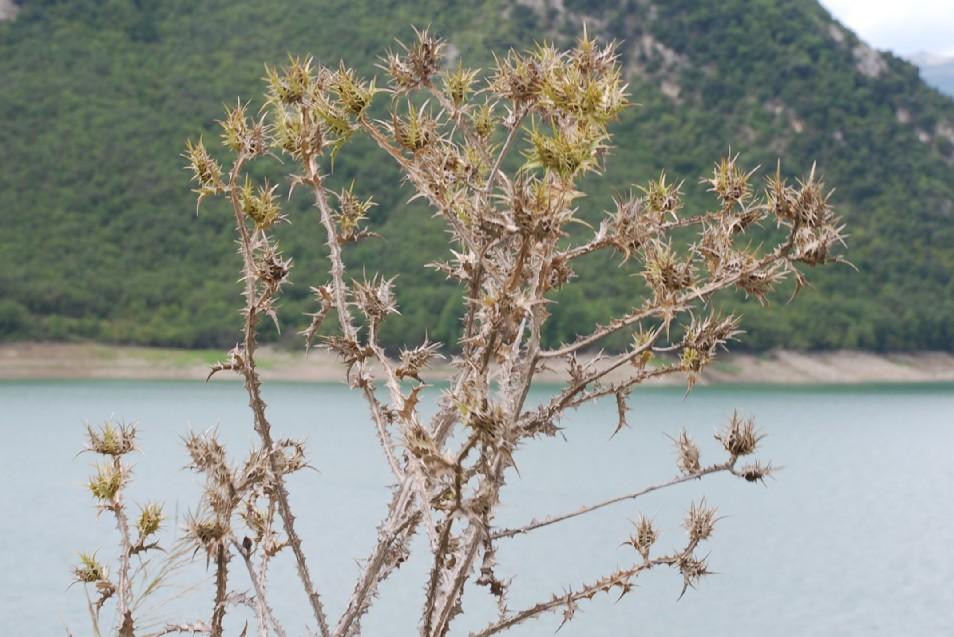 Scolymus maculatus 12