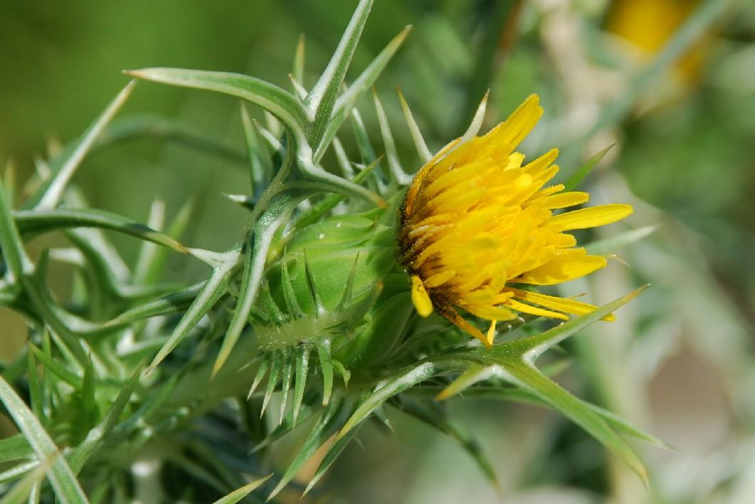 Scolymus maculatus 13