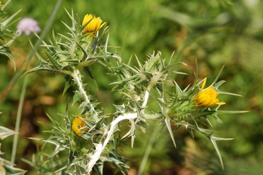 Scolymus maculatus 16