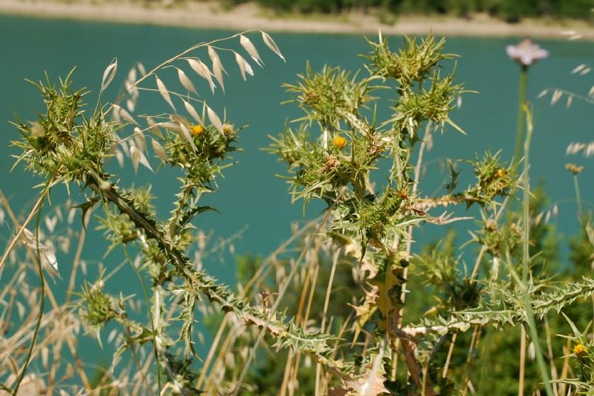 Scolymus maculatus 18