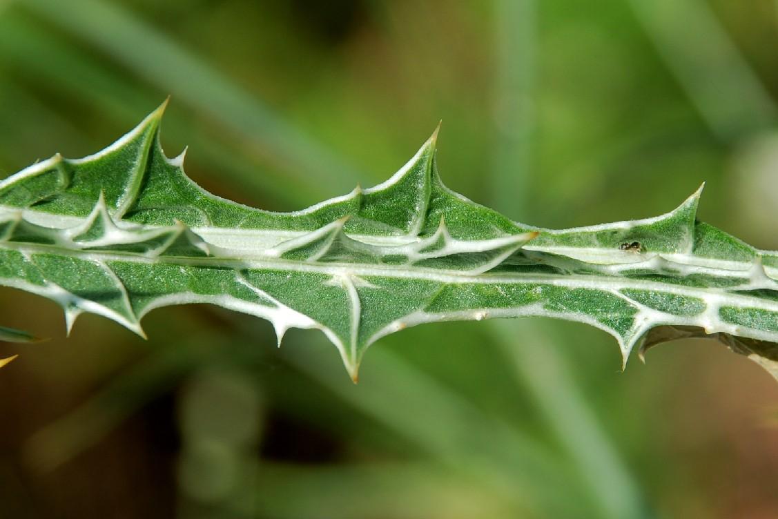 Scolymus maculatus 19