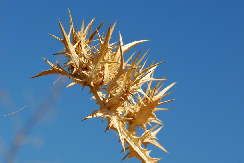 Scolymus maculatus 2