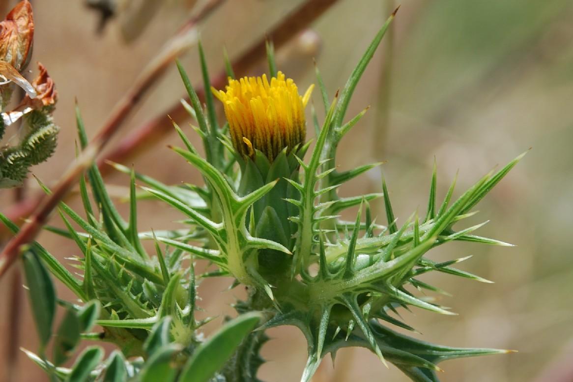 Scolymus maculatus 23