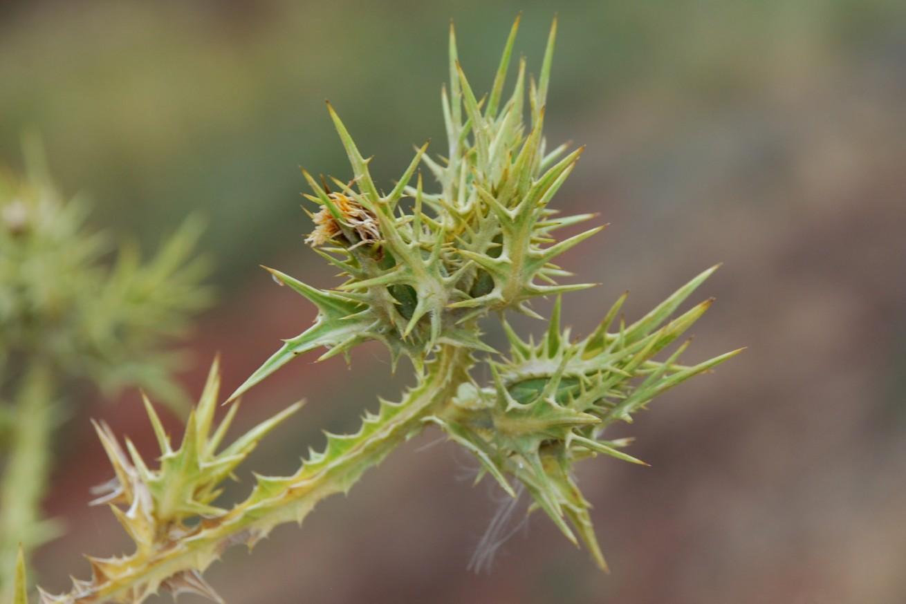 Scolymus maculatus 7
