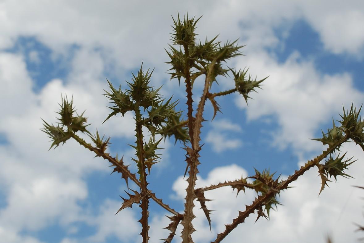 Scolymus maculatus 8