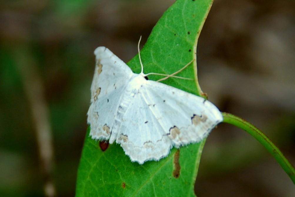 Scopula ornata - Geometridae