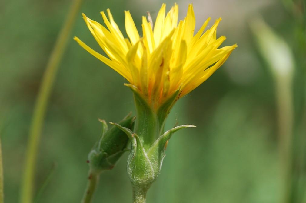 Scorzonera hispanica subsp. glastifolia