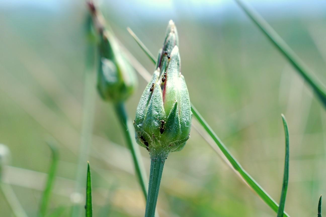 Scorzonera laciniata 18