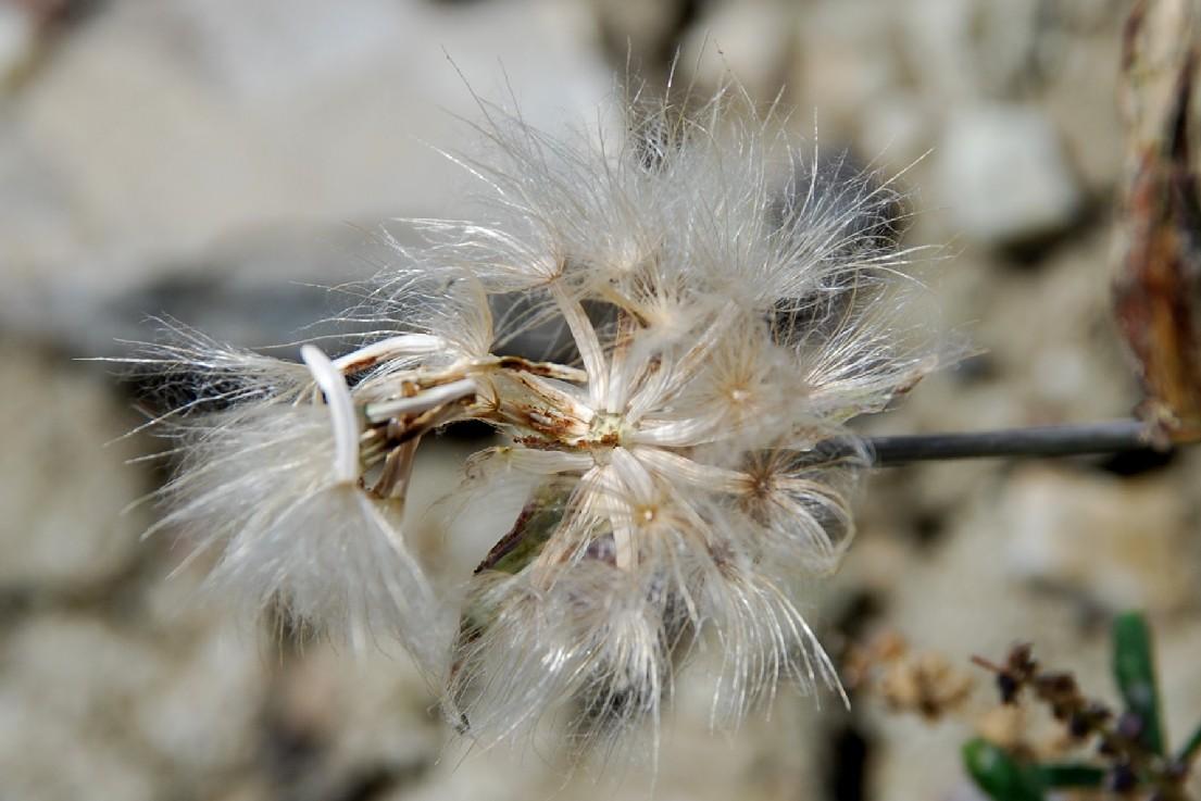 Scorzonera laciniata 6