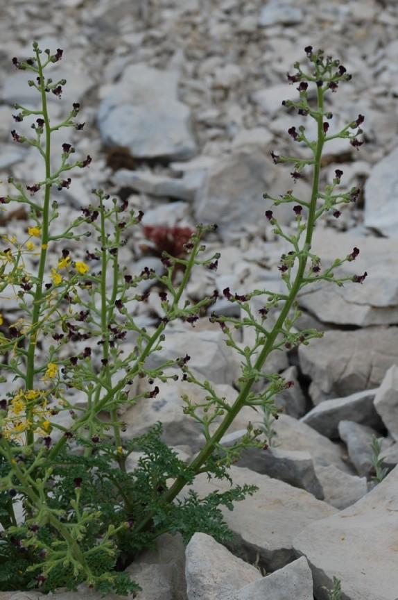 Scrophularia hoppii
