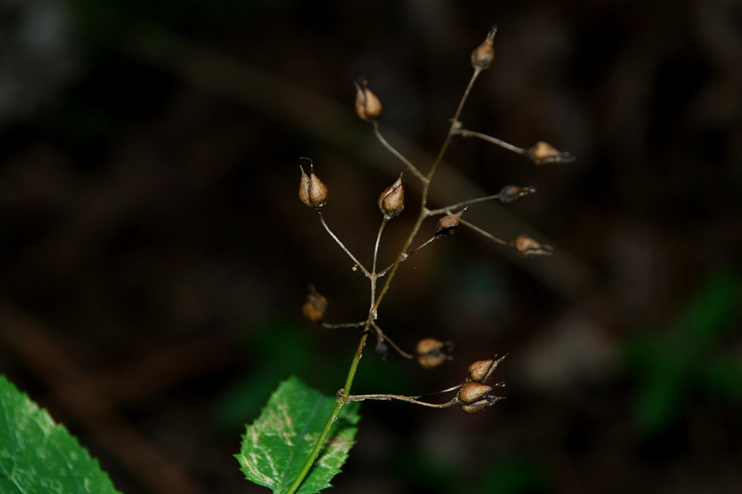 Scrophularia nodosa 8