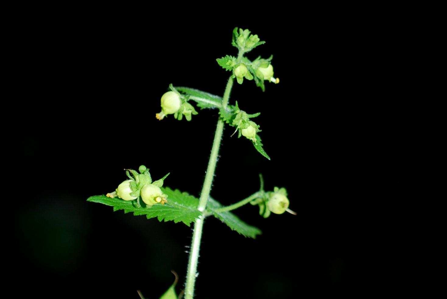 Scrophularia vernalis 2