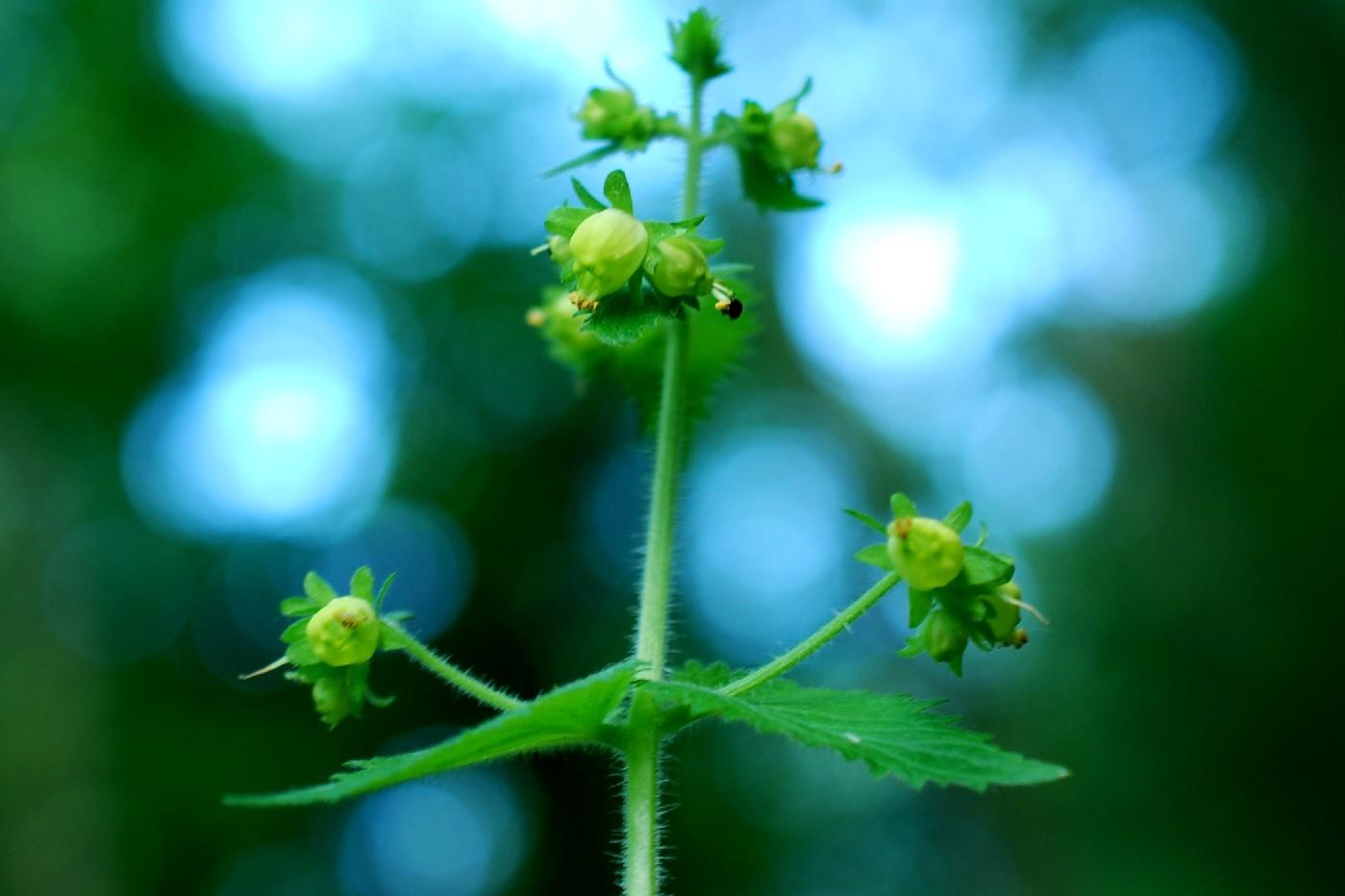 Scrophularia vernalis 5