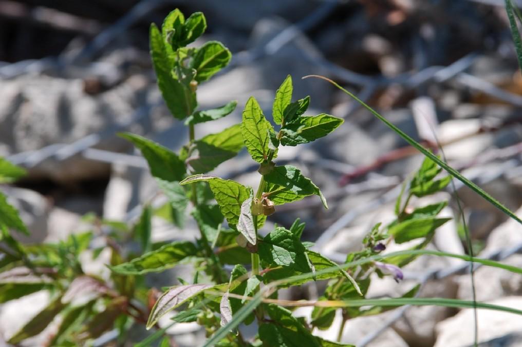 Scutellaria galericulata 10