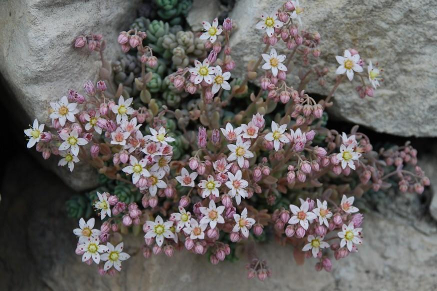 Sedum dasyphyllum subsp. dasyphyllum 3