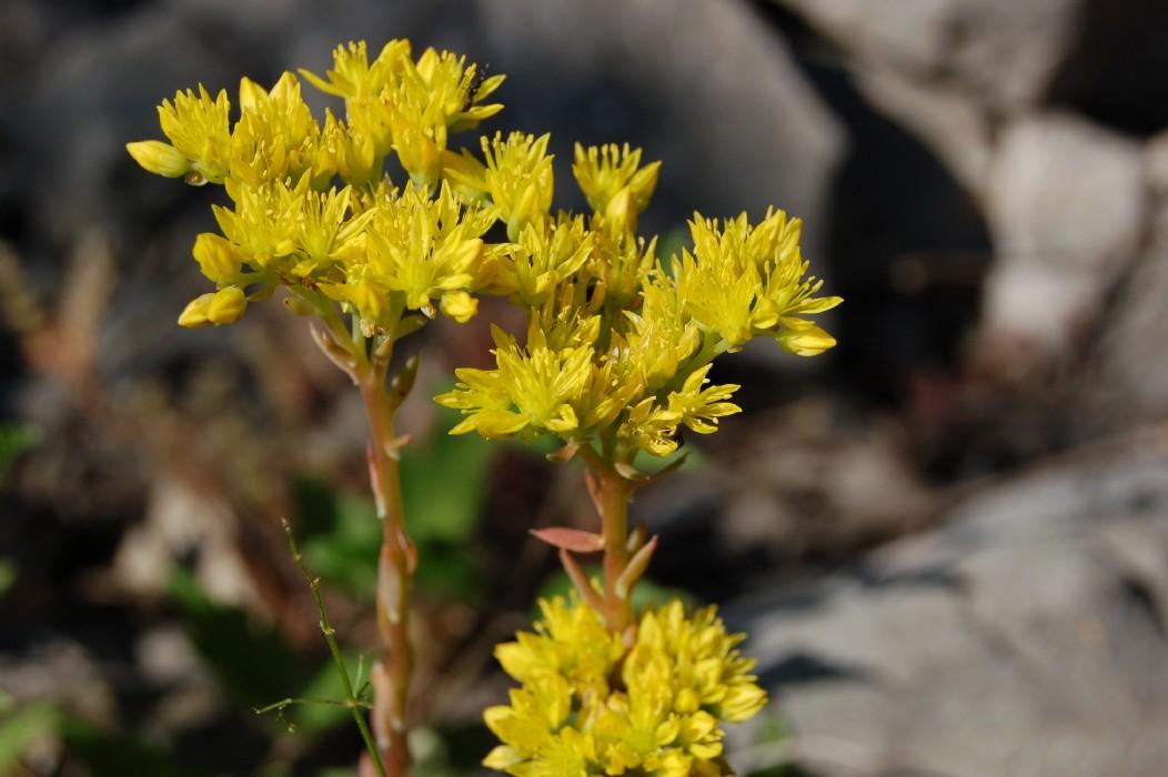 Sedum rupestre subsp. rupestre
